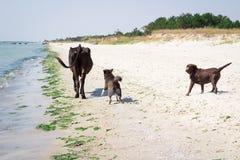 Cani selvaggi domestici che corrono sulla spiaggia del mare che insegue mucca immagine stock