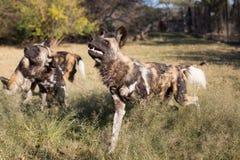 Cani selvaggi prigionieri Fotografie Stock