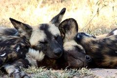 Cani selvaggi in Sudafrica Immagine Stock Libera da Diritti