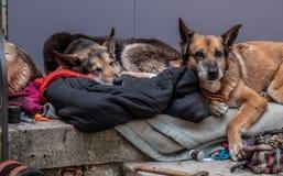 3 cani si trovano addormentato e sonnecchiando sul gradino della porta fotografie stock libere da diritti