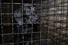 Cani smarriti del puntatore dietro gli sguardi delle barre con gli occhi tristi enormi, sperando di trovare una casa e un ospite immagine stock