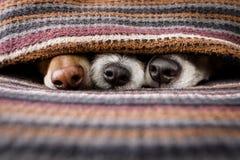 Cani sotto la coperta insieme fotografia stock libera da diritti