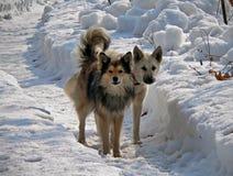 Cani su neve 1 Immagine Stock