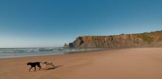 Cani su una spiaggia Fotografia Stock
