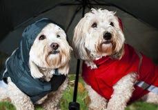 Cani in su vestiti sotto l'ombrello Immagine Stock
