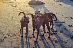 Cani sulla spiaggia Fotografie Stock Libere da Diritti