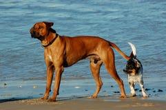 Cani sulla spiaggia Fotografia Stock Libera da Diritti