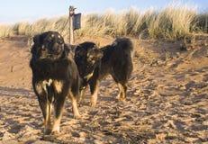 Cani sulla spiaggia sabbiosa Fotografia Stock Libera da Diritti