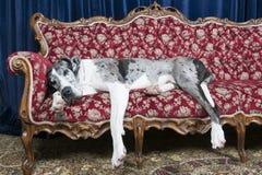 Cani sullo strato Immagine Stock Libera da Diritti