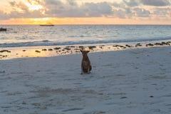 Cani svegli che corrono sugli animali della costa della Tanzania Animali domestici a Zanzibar immagini stock libere da diritti