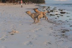 Cani svegli che corrono sugli animali della costa della Tanzania Animali domestici a Zanzibar fotografia stock libera da diritti