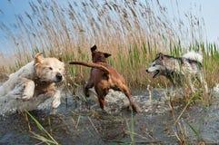 Cani svegli che hanno divertimento Fotografia Stock