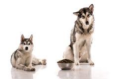 Cani svegli ed il loro alimento favorito su un fondo bianco Fotografia Stock