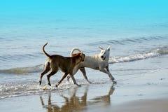 Cani tailandesi che giocano alla spiaggia con il mare ed il cielo blu Immagine Stock
