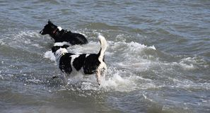 Cani trasversali delle collie che nuotano Fotografia Stock