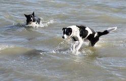 Cani trasversali delle collie che nuotano nel mare Fotografia Stock Libera da Diritti