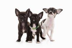 Cani Tre cuccioli della chihuahua isolati su bianco Immagine Stock