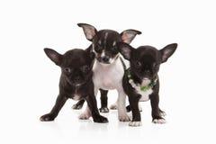Cani Tre cuccioli della chihuahua isolati su bianco Immagini Stock
