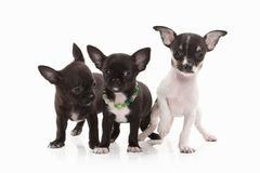 Cani Tre cuccioli della chihuahua su bianco Immagini Stock Libere da Diritti