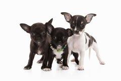 Cani Tre cuccioli della chihuahua su bianco Fotografia Stock Libera da Diritti