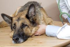 Cani veterinari Immagine Stock