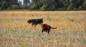 Cani wairehaired tedeschi del puntatore del amd rosso del setter Irlandese nel campo Indichi una caccia del tiro dell'uccello fotografia stock libera da diritti