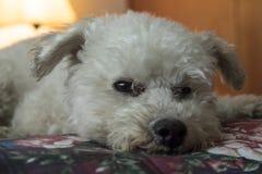 A caniche adorável levanta para a câmera na cama Foto de Stock Royalty Free