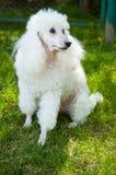 Caniche blanco. Fotografía de archivo