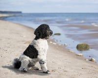 Caniche blanco y negro en la playa Imagen de archivo libre de regalías