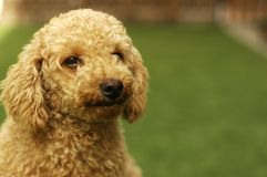 Caniche bonito de Brown Fotografia de Stock