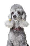 Caniche cinzenta com o colar de couro no branco isolado Imagem de Stock