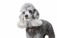 Caniche cinzenta com o colar de couro no branco isolado Fotos de Stock Royalty Free
