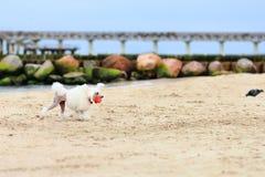 caniche com uma bola vermelha na praia fotos de stock royalty free