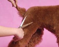 Caniche Cosmetologystep Fotografia de Stock