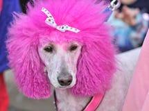 Caniche d'une chevelure rose Images stock