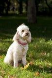 Caniche dans l'herbe Photos libres de droits