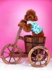 Caniche de brinquedo Imagens de Stock Royalty Free