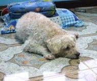 Caniche de chien étant sommeil Image libre de droits