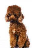 Caniche de couleur de Brown mini Photographie stock libre de droits