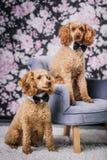 Caniche de dois irmãos junto foto de stock royalty free