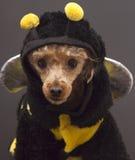 Caniche de la abeja Imagen de archivo