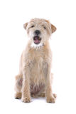 Caniche de Labrador Imágenes de archivo libres de regalías
