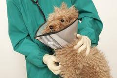 Caniche de vétérinaire et de jouet Images stock