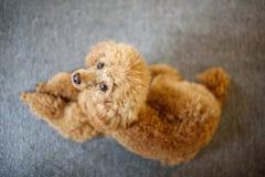 Caniche del albaricoque imagen de archivo libre de regalías