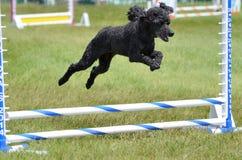 Caniche diminuta em uma experimentação da agilidade do cão Imagem de Stock Royalty Free