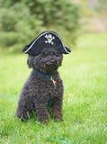 Caniche divertido con el sombrero del pirata. Foto de archivo