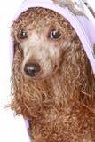 Caniche do alperce após um banho imagem de stock