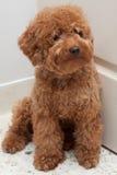 Caniche do brinquedo com uma expressão triste 4 fotografia de stock
