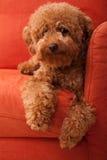 Caniche do brinquedo que lazing no sofá 2 foto de stock royalty free