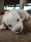 Caniche do cão Fotos de Stock Royalty Free